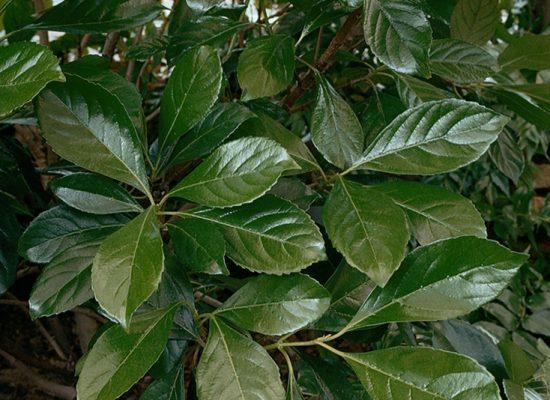 Viburnum Awabuki
