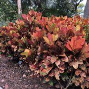Croton-