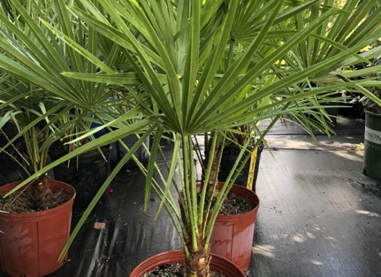 European Fan Palm 2