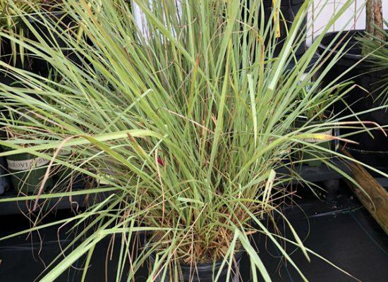 Fakahatcha grass 2