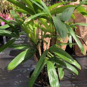 Lady palm small
