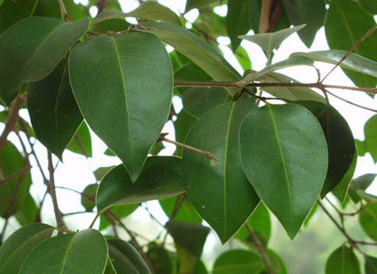 Ligustrum leaf