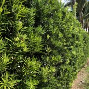 Podocarpus 2