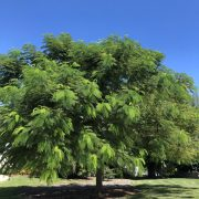 Royal Poinciana no flowers
