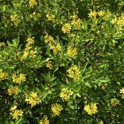 Thyrallis flower