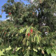 bottlebrush tree-1