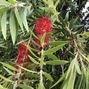 bottlebrush tree-close up