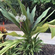 crinum lily-1