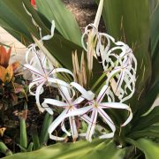 crinum lily flowers-1