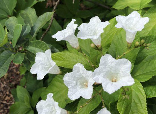 gieger flower