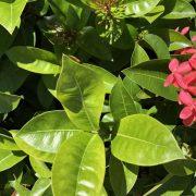 ixora leaf