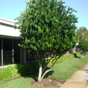 ligustrum resized
