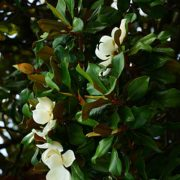 Flower, fruits and foliage of Magnolia grandiflora (Southern mag