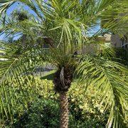pygmy date palm -1